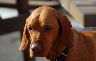维兹拉犬交配应该注意些什么问题?维兹拉犬怀孕的相关事项