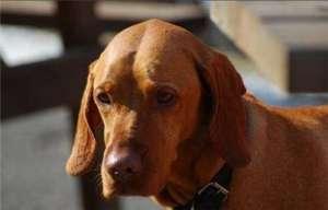维兹拉犬交配应该注意些什么问题?维兹拉犬怀孕的相关