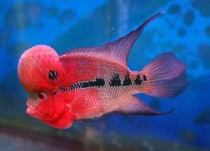 饲养花罗汉鱼 错误观念要避免